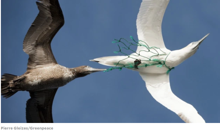 captured gannet